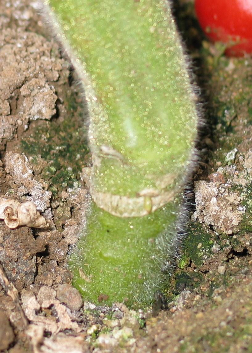 Pomodoro innestato piante passione blog for Melanzane innestate
